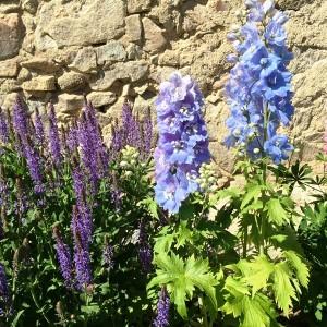 Šalvěj -Salvia a Stračka -Delphinium v trvalkovém záhonu