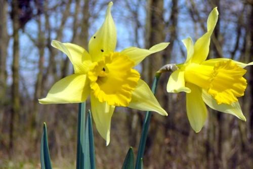 Narcis, 10. 4. 2009